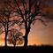 Oak Trees, #43