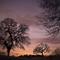 Oak Trees, #68